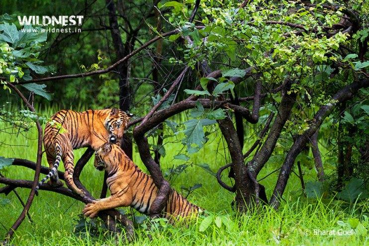 Tadoba Trip Report - tiger cubs playing in wild at tadoba.....