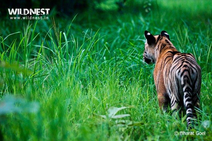 Tadoba Trip Report - tiger-monsoons-tadoba
