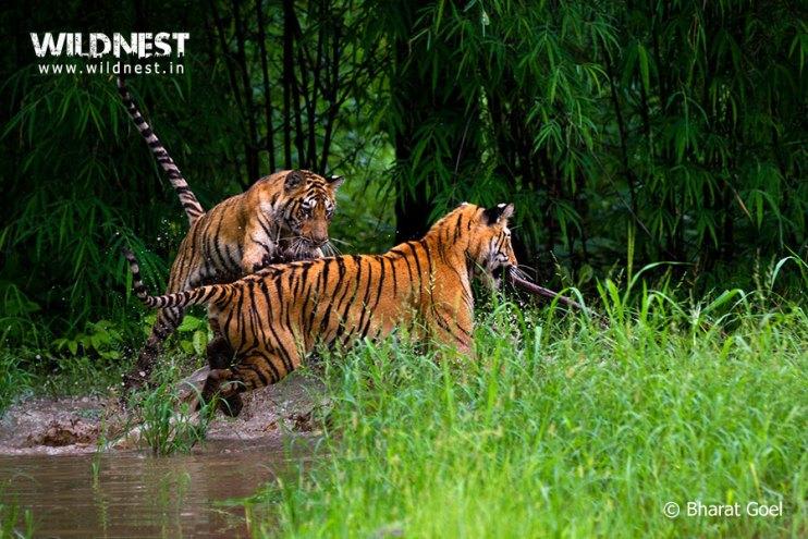 Tadoba Trip Report - tiger-playing-water-tadoba