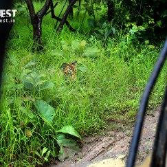 tiger safari at tadoba.