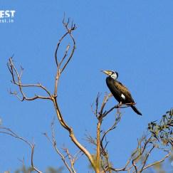 Great Cormorant at YBD