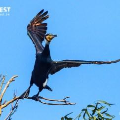 Great Cormorant at YBP