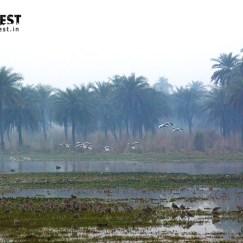 Grey Leg Goose Shovlers Birds at Surjpur Wetlands Greater Noida