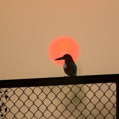 Kingfisher at Surajpur Wetlands Greater Noida
