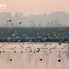 Migratory Birds at Surajpur Wetlands