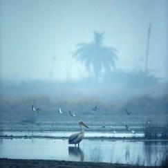 Spot-billed Pelican Bird at KG Wetlands