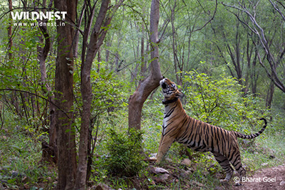 sariska wildlife tour safari india