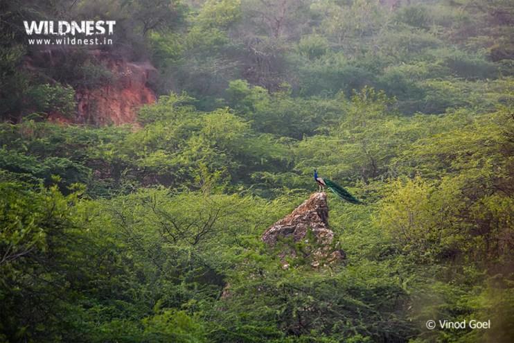 Birding Near Delhi at Aravli Bio-Diversity Park
