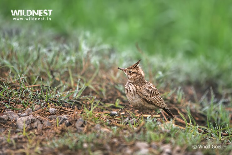 Birding Near Delhi at Hodal