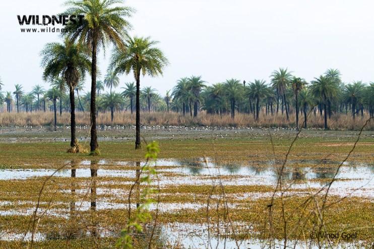 Birding Near Delhi at Surajpur Wetlands, Greater Noida