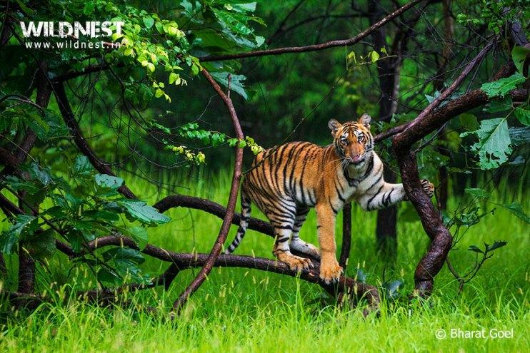 Tadoba Trip Report - tiger cub playing at Tadoba Andhari Tiger Reserve