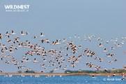 Flamingos flying shot at lrk