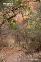 tiger in habitat at ranthambore