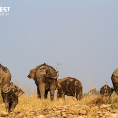 elephant herd at corbett tiger reserve