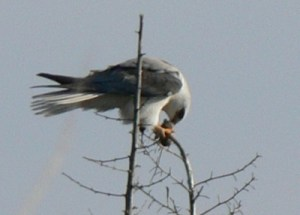 White Tailed Kite Eating a Mouse