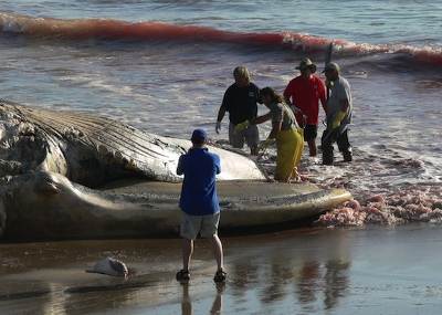Flensing Dead Blue Whale at Faria Beach
