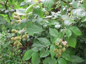 Black Berries (Not ripe yet)