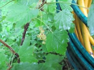 Currants (almost ripe)
