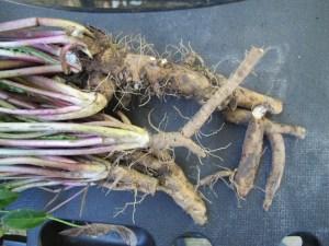 Dandelion Root on Black Shelf