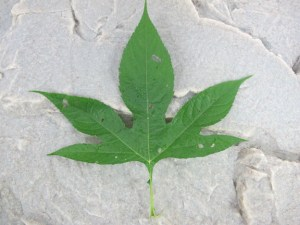 Giant Ragweed - Leaf