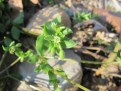 chickweed-photo