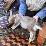 How to Field Dress & Butcher a Rabbit