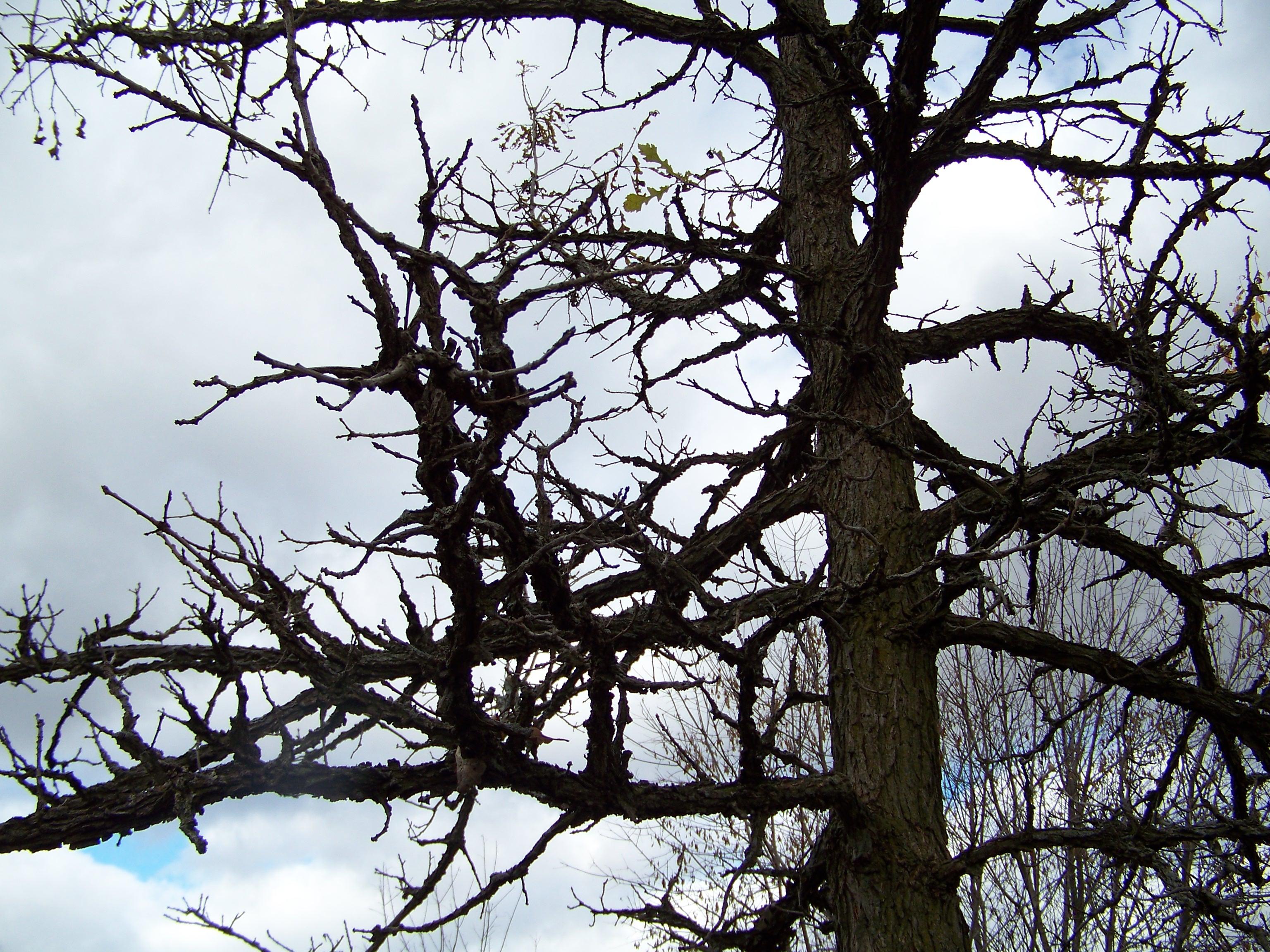 Magnificent Bur Oak Includes Prairies South From Manitoba Westto Where It Is A Savannah A Savannah Is A Grassland Range Bur Oak Willow House Chronicles houzz-03 Burr Oak Tree