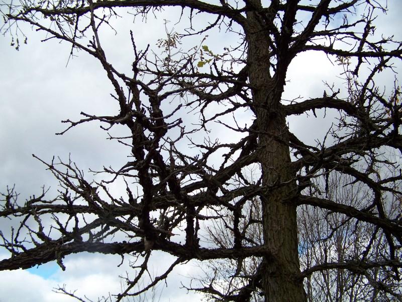Large Of Burr Oak Tree