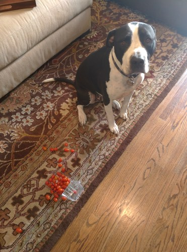 Dogshaming Seamus
