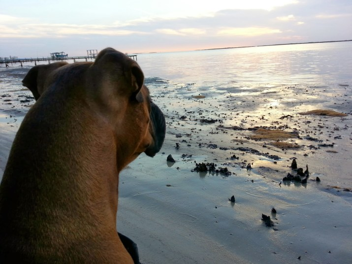 Our Boxer enjoying a morning walk on the beach.