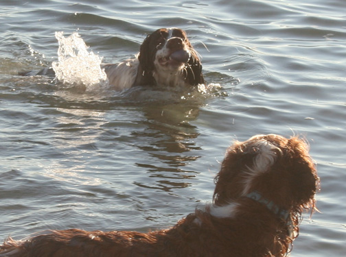 Springer Spaniel doing a water retreive of a ball