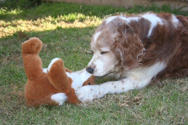 Winslow the welsh springer who lives with cathy hatfield the artist, is seen here removing Mr. Wombats nose.