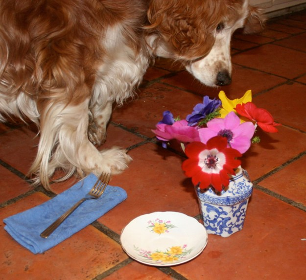 Welsh Springer Spaniel Winslow Homer Hatfield sniffs his floral place setting after finishing his steak snack.