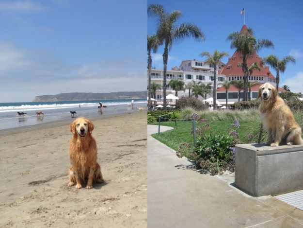 Bear at the Del Coronado