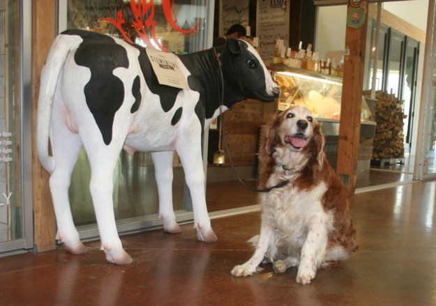 Winslow  the springer spaniel with the cheese shoppe cow