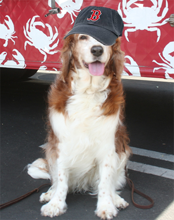 Winslow the Welsh Springer Spaniel iis a big Bpston Red Sox fan !