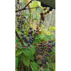 Small Crop Of Wild Grape Vine