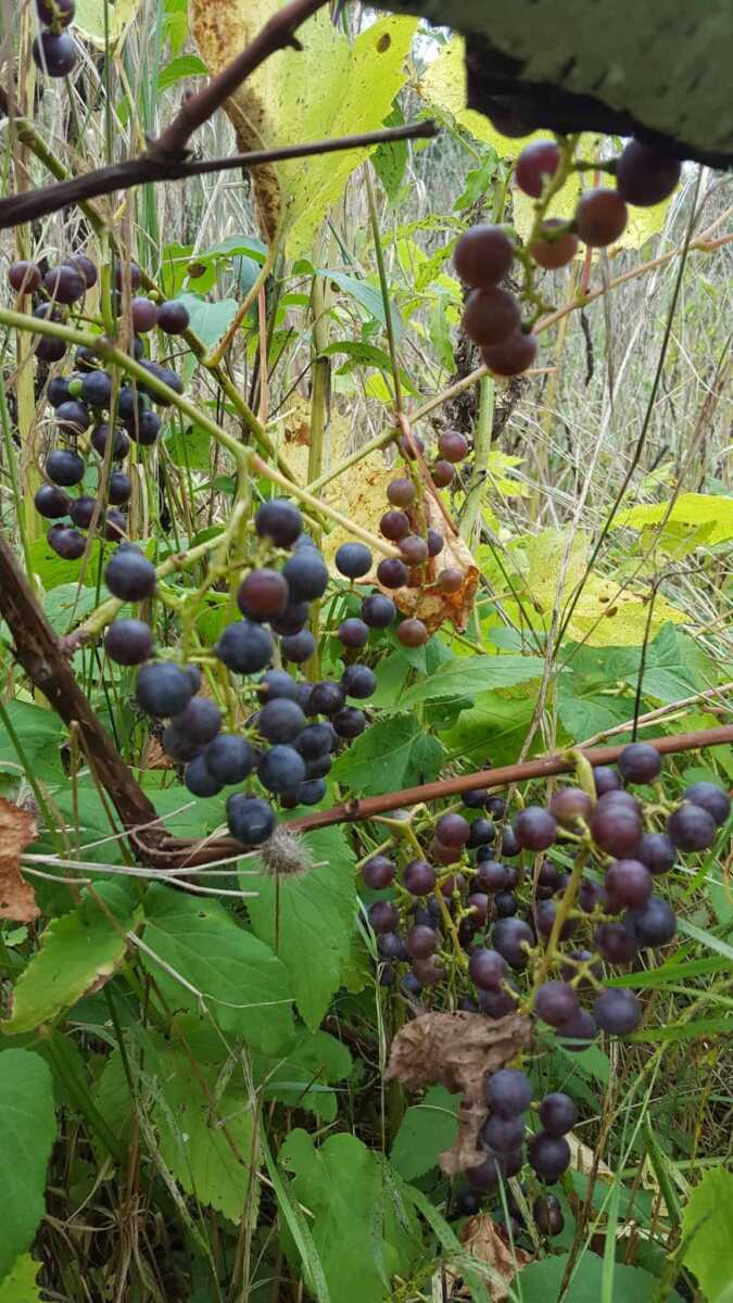 Large Of Wild Grape Vine