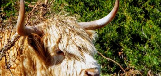 scottish steer 3