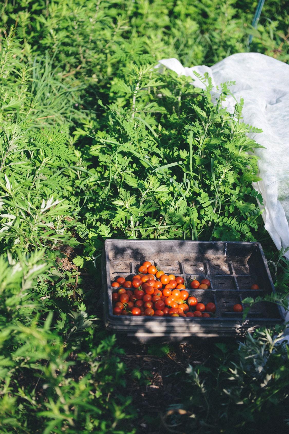Hazelwood Urban Farms, Season 2 | Canning Tomatoes // www.WithTheGrains.com