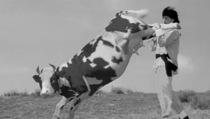 Cow attacks are on the increase.