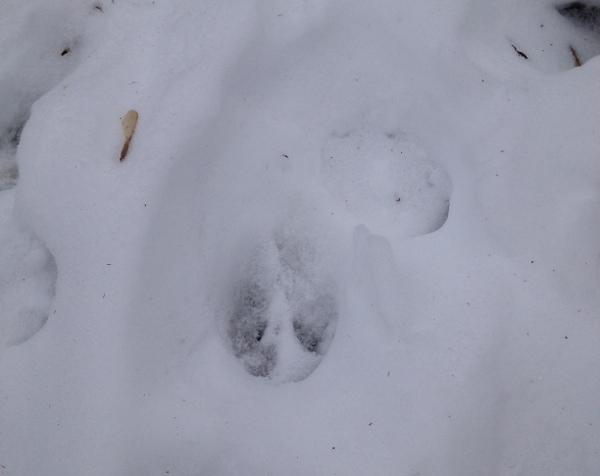 Deer Track In Snow