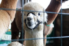 Alpacas at the Maryland Alpacas and Fleece Festival