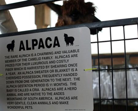 Alpacas at the Maryland Alpacas and Fleece Festival