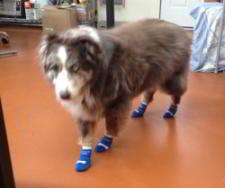 Australian Shepherd Dolly Wears Non Slip Dog Socks