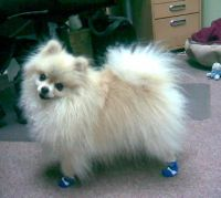 Eugenia's Dog Wears NonSlip Dog Socks