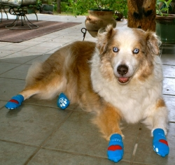 Senior Dog, Hank, in NonSlip Dog Socks