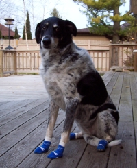 Lab Mix Wearing NonSlip Socks for Dogs