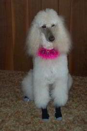 Apris the Standard Poodle Wears Non Slip Dog Socks