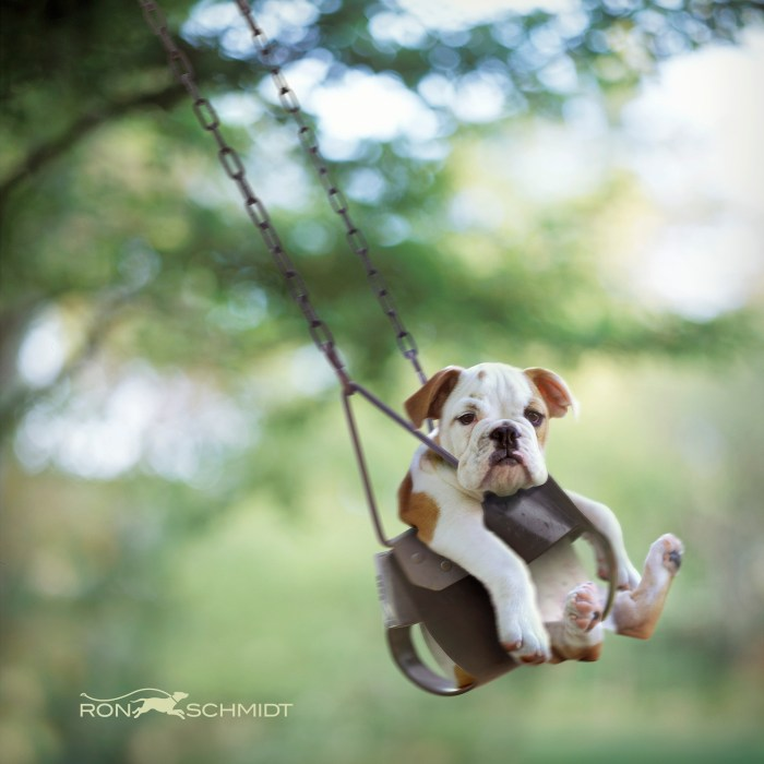 Bulldog puppy in park child swing Ron Schmidt